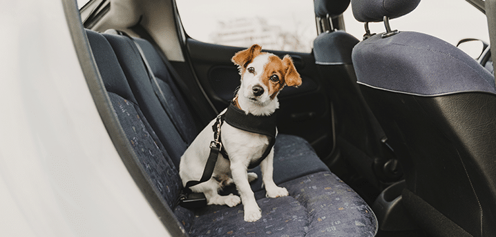 Tiny Jack Russel dog in a car seat harness | Best Car Seats for Dogs 2021